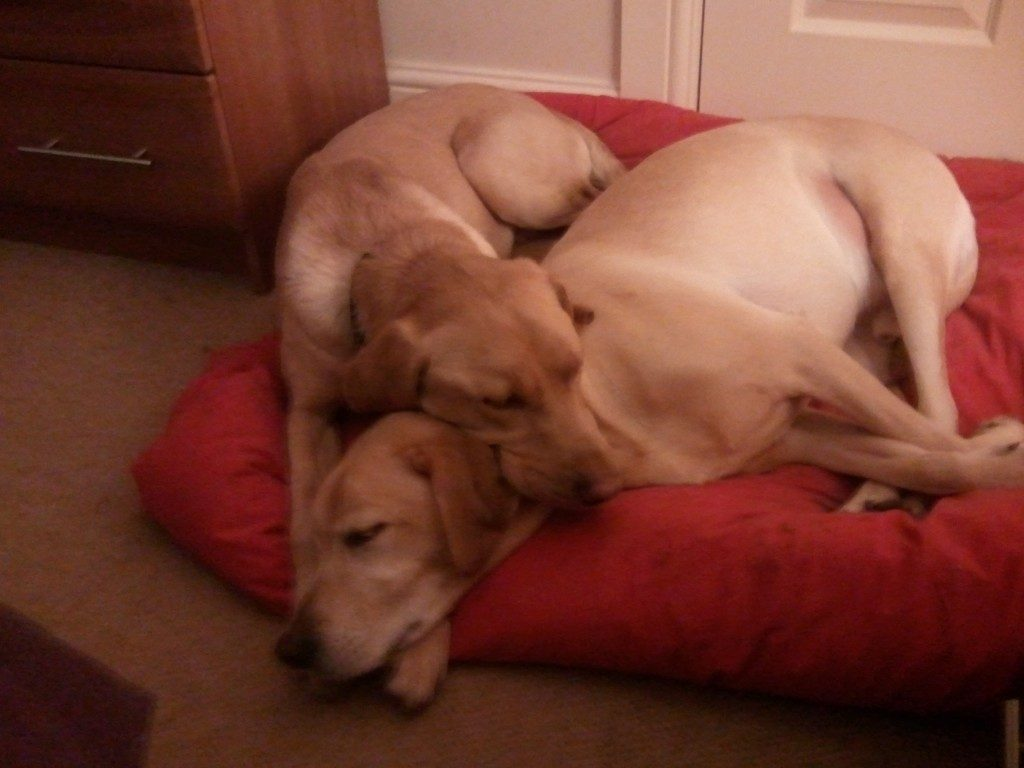 Two labrador brothers snuggled together.
