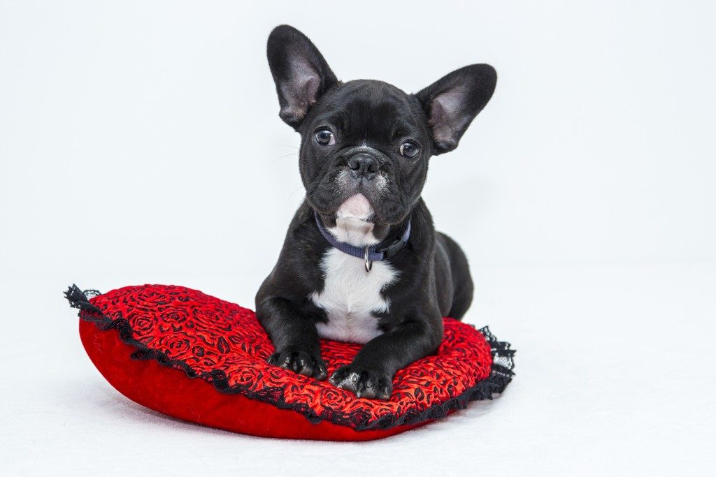 A french bulldog taking comfort on his red cushion.